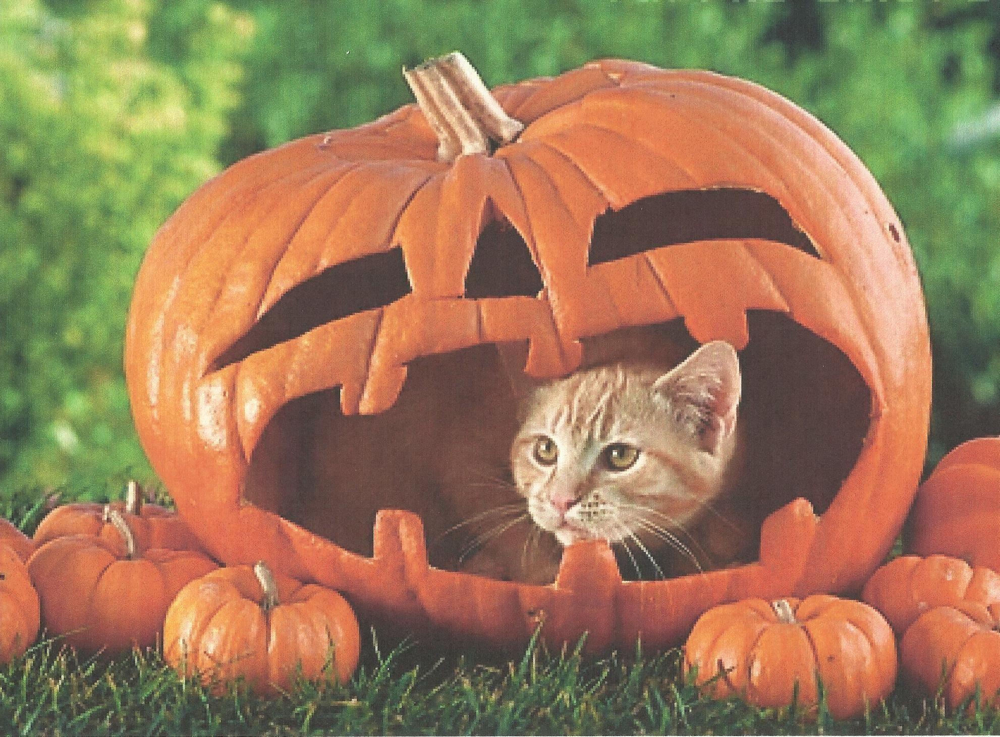 Halloween cats and kittens halloween cat in a pumpkin for Pumpkin kitty designs