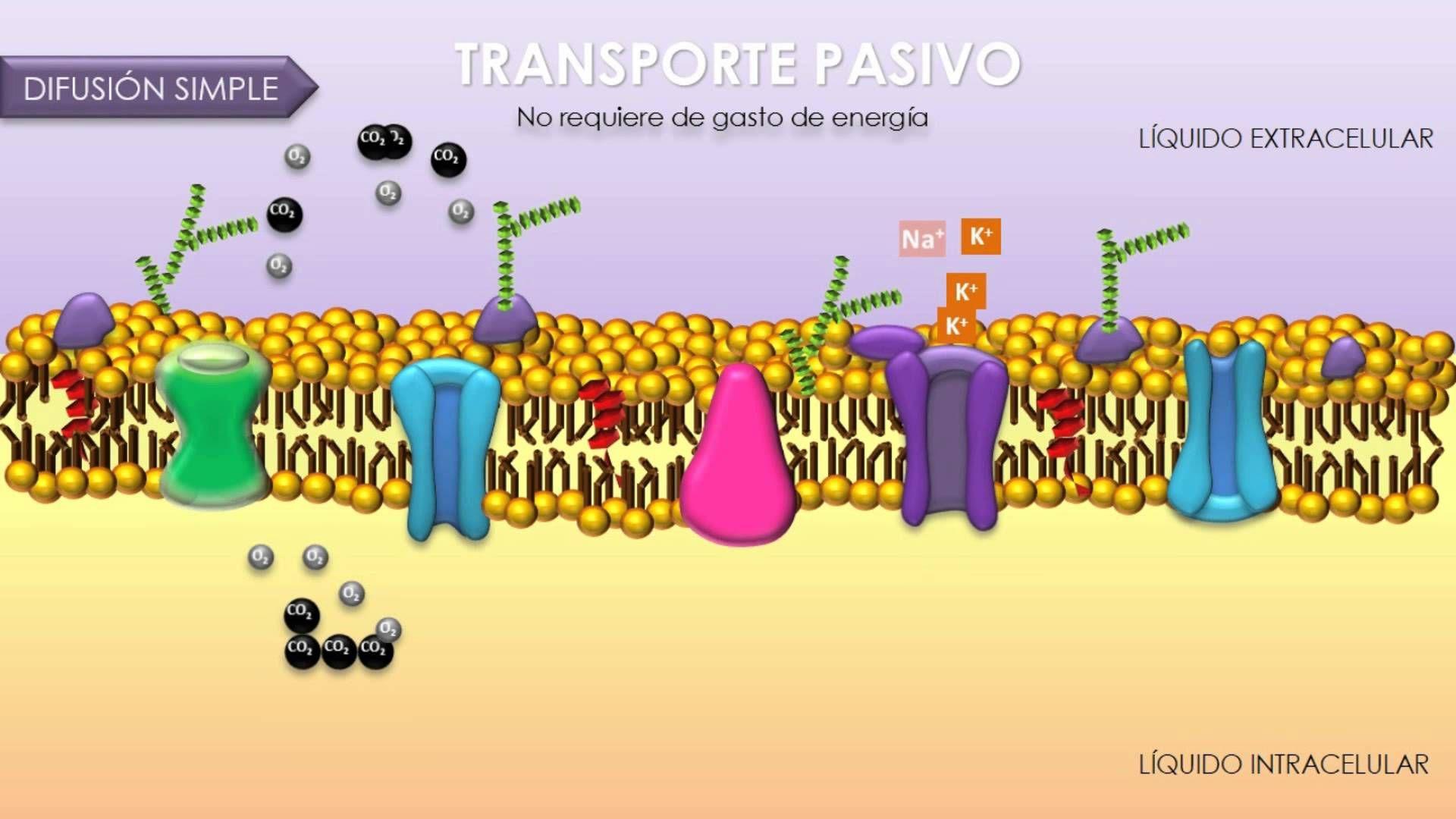 Transporte A Traves De Membrana Celular Biologia Celular Ensenanza Biologia Bioquimica