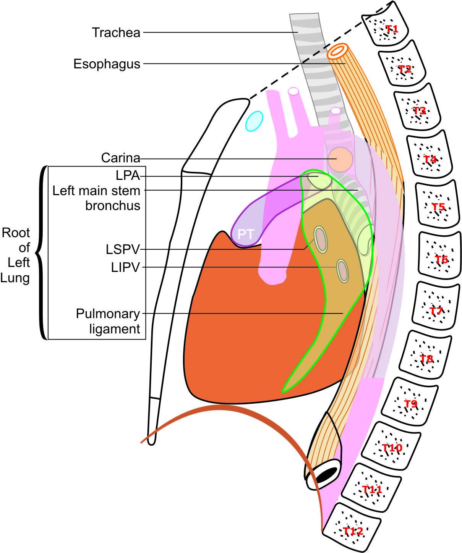 hight resolution of diagram of epigastrium