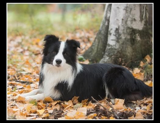 Pin By Diane Murphy On Dogs Collie Puppies Border Collie Puppies Puppies