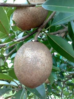 Chikoo or Sapodilla also known as Naseberry and Nispero in some tropical American countries