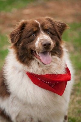 Adopted Hank 2 Year Old Male Red Tri Australian Shepherd And
