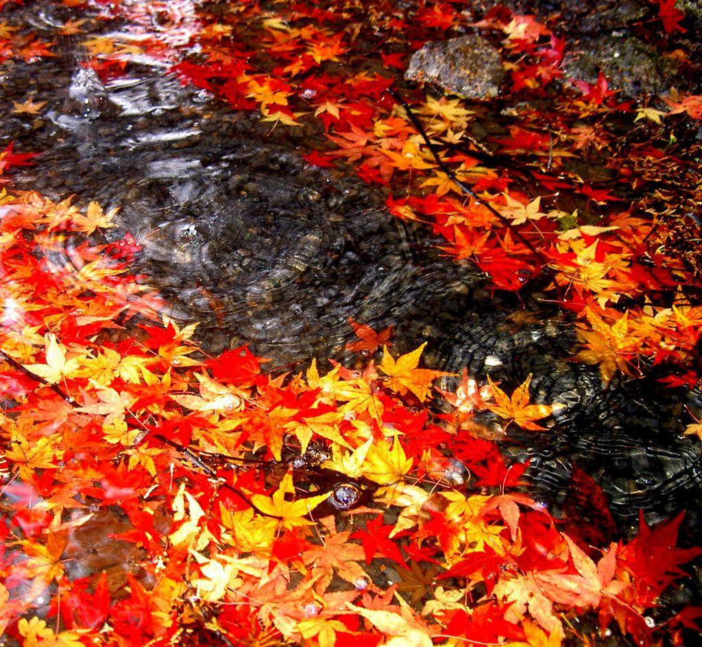 フリー画像素材 風景 自然 河川 植物 葉っぱ 紅葉 黄葉