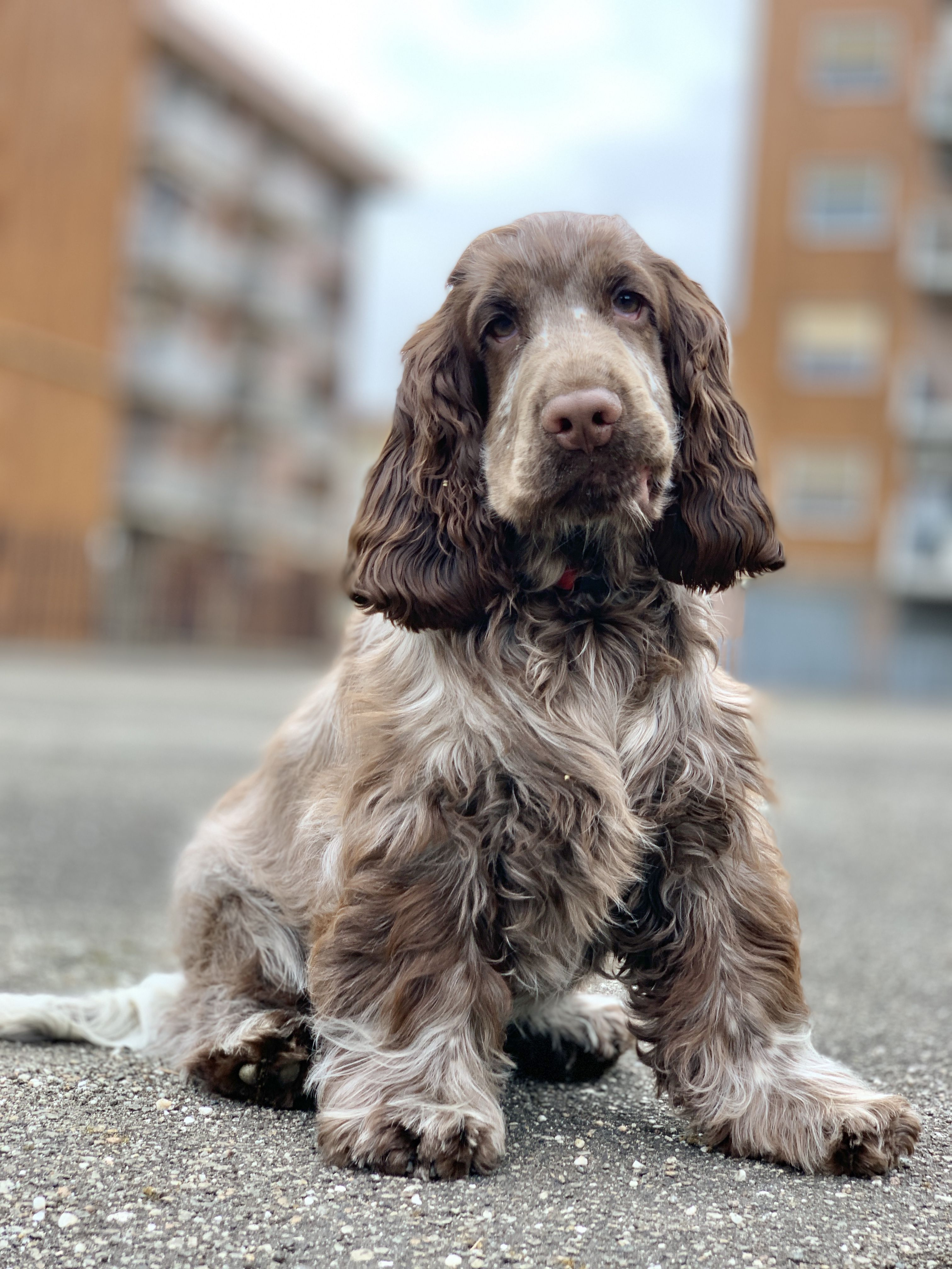 Pin By Caustin On The Most Beautiful Cocker Spaniels In The World In 2020 Cocker Spaniel English Cocker Crazy Dog Lady