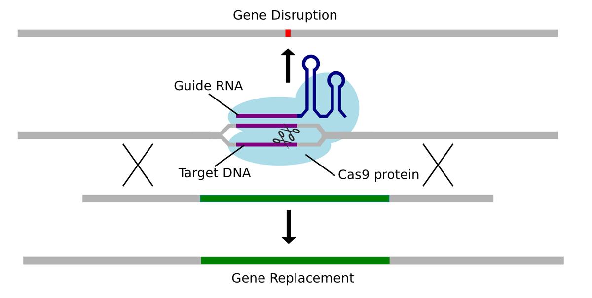 High-Precision Genome Editing