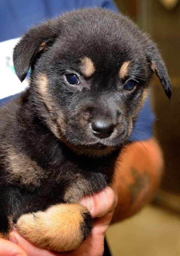 Labrador Rottweiler Mix Puppies For Sale Zoe Fans Blog