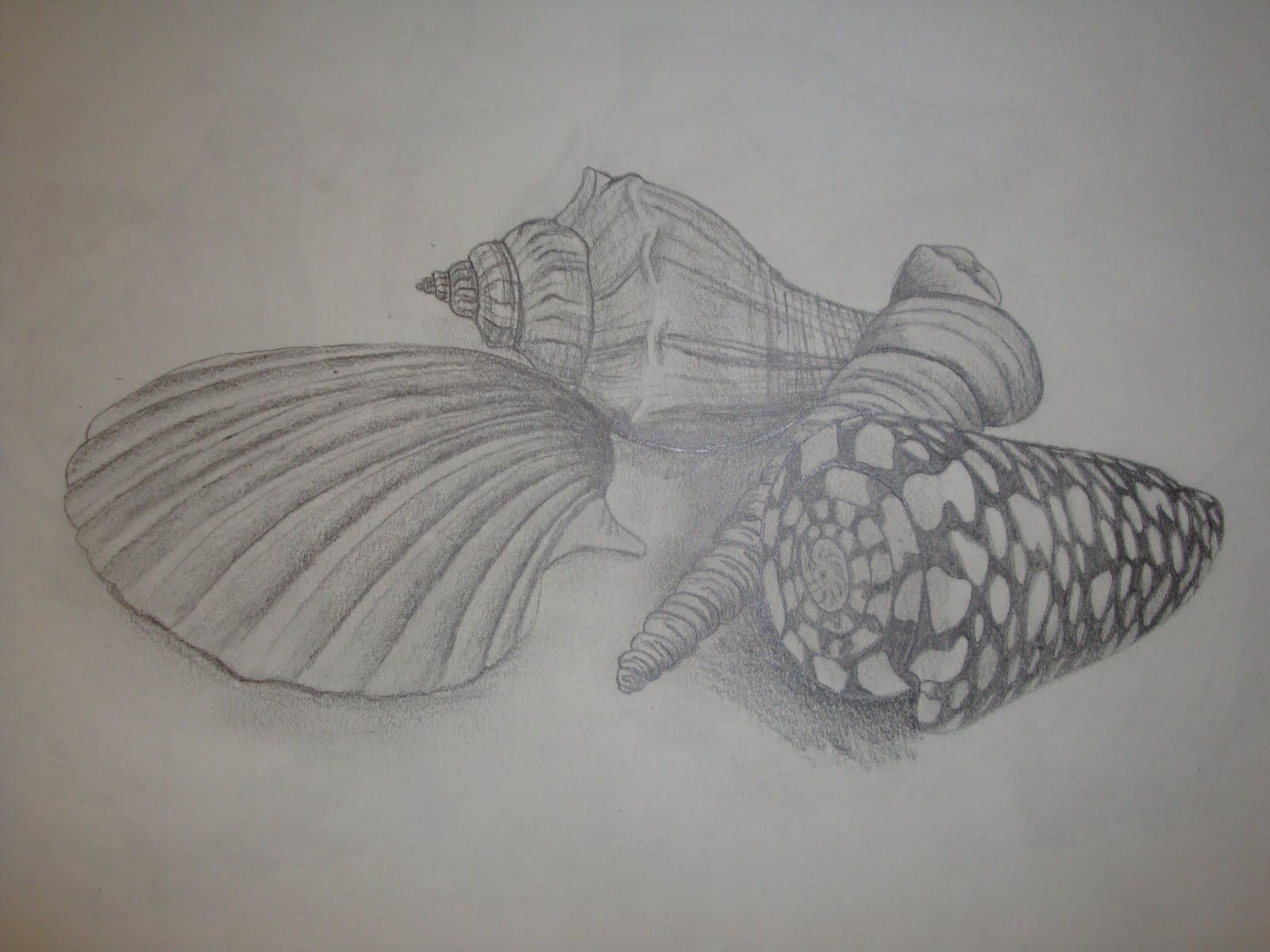 drawings of shells - Google Search | Shell drawings ...