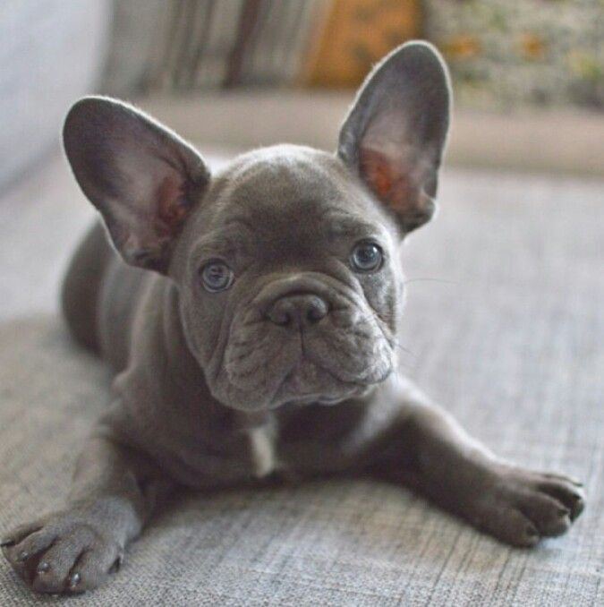 Frenchie French bulldog puppies, Grey french bulldog
