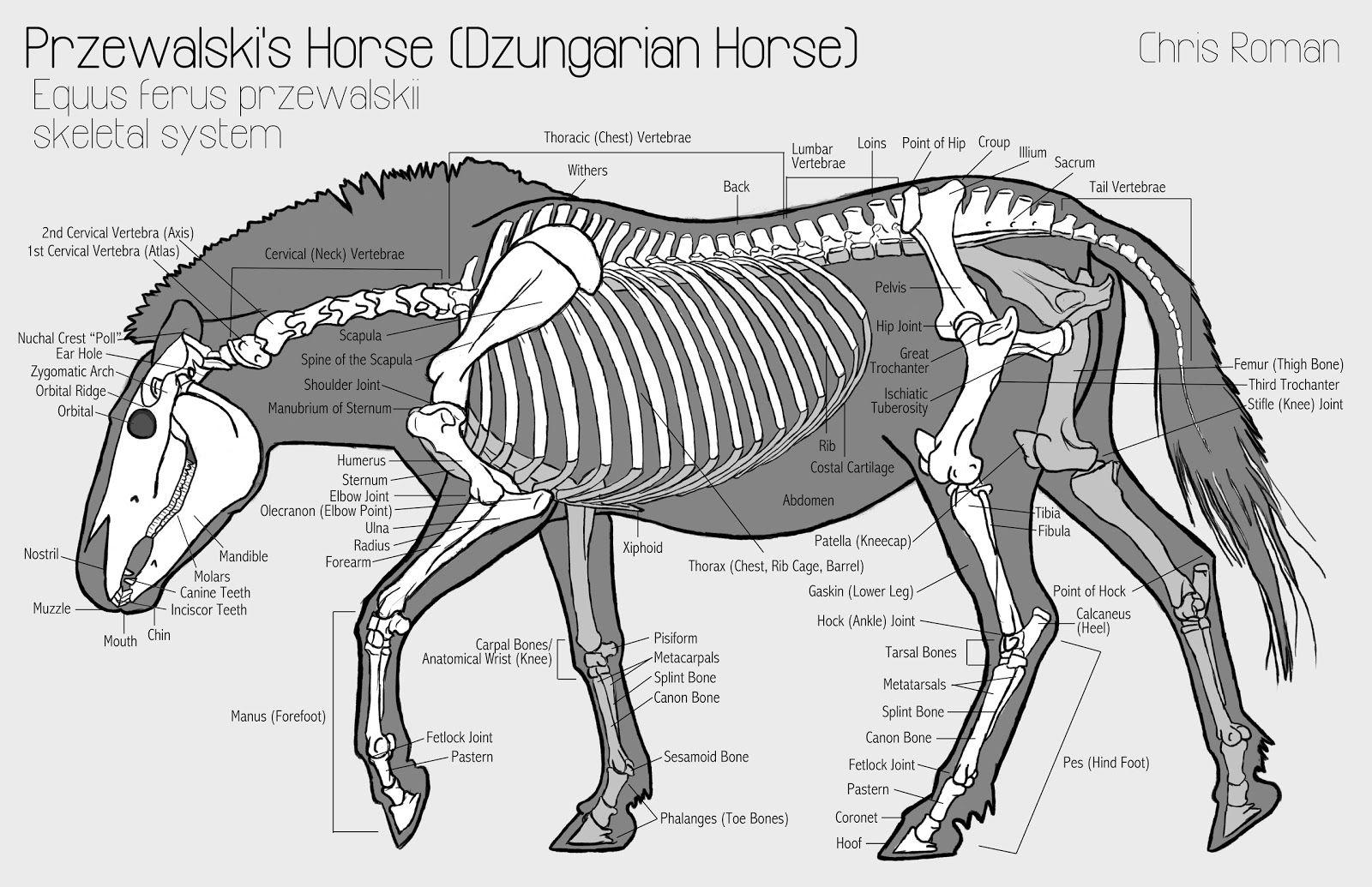 The Breeding-back Blog: Examining a Pleistocene Wild horse\'s body ...