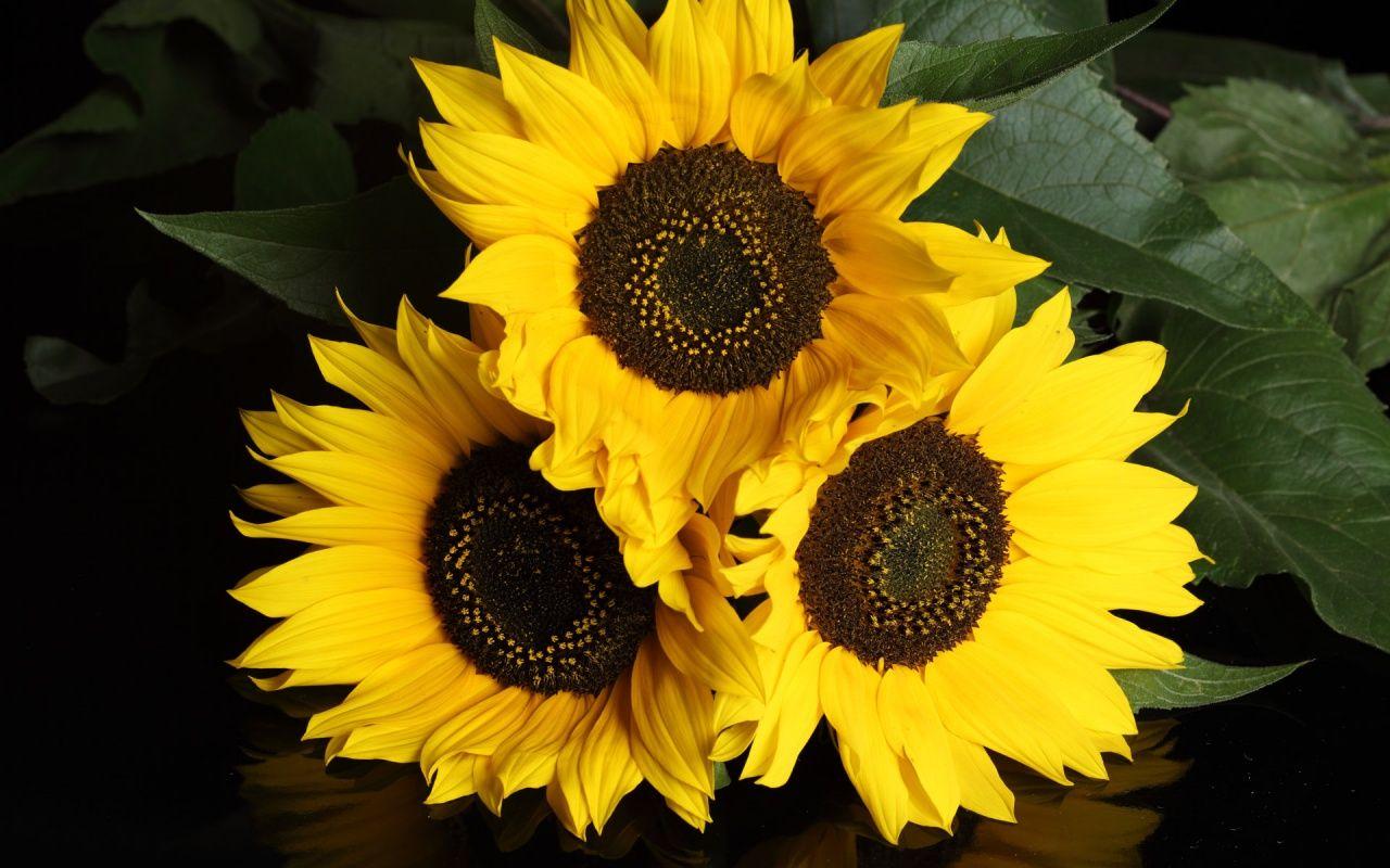 3 Girasoles | FLORES | Pinterest | Flor de girasol, Girasoles y Flor