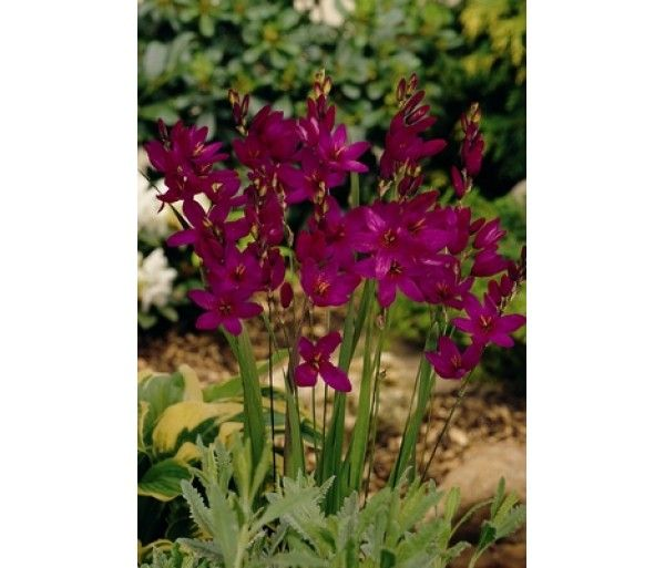 Ixia Mabel per 50 All our summerflowering bulbs