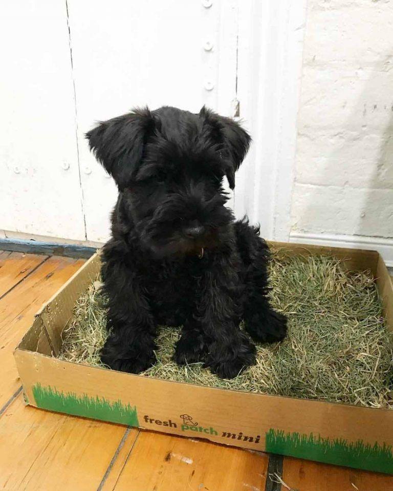 Available Puppies Tony Mini Schnauzer Puppies Home Mini Schnauzer Puppies Schnauzer Puppy Mini Schnauzer