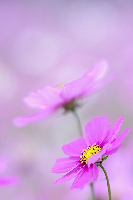 You Make Me Smile Cosmos Flowers Beautiful Landscape Wallpaper Pretty Flowers