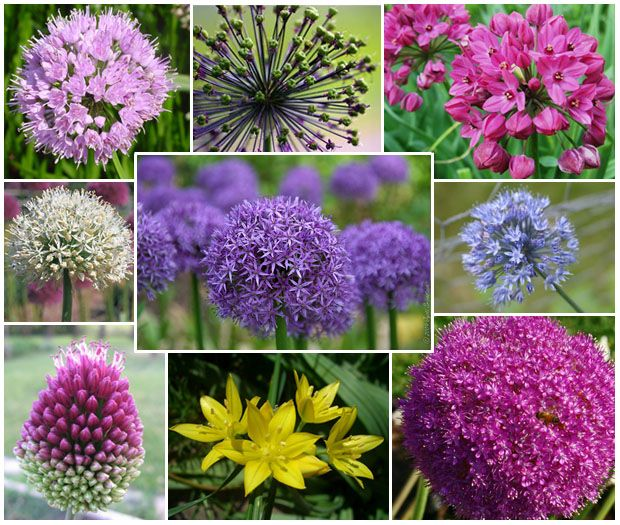 Range Of Allium Flower Colors Allium Flowers Flowers Allium