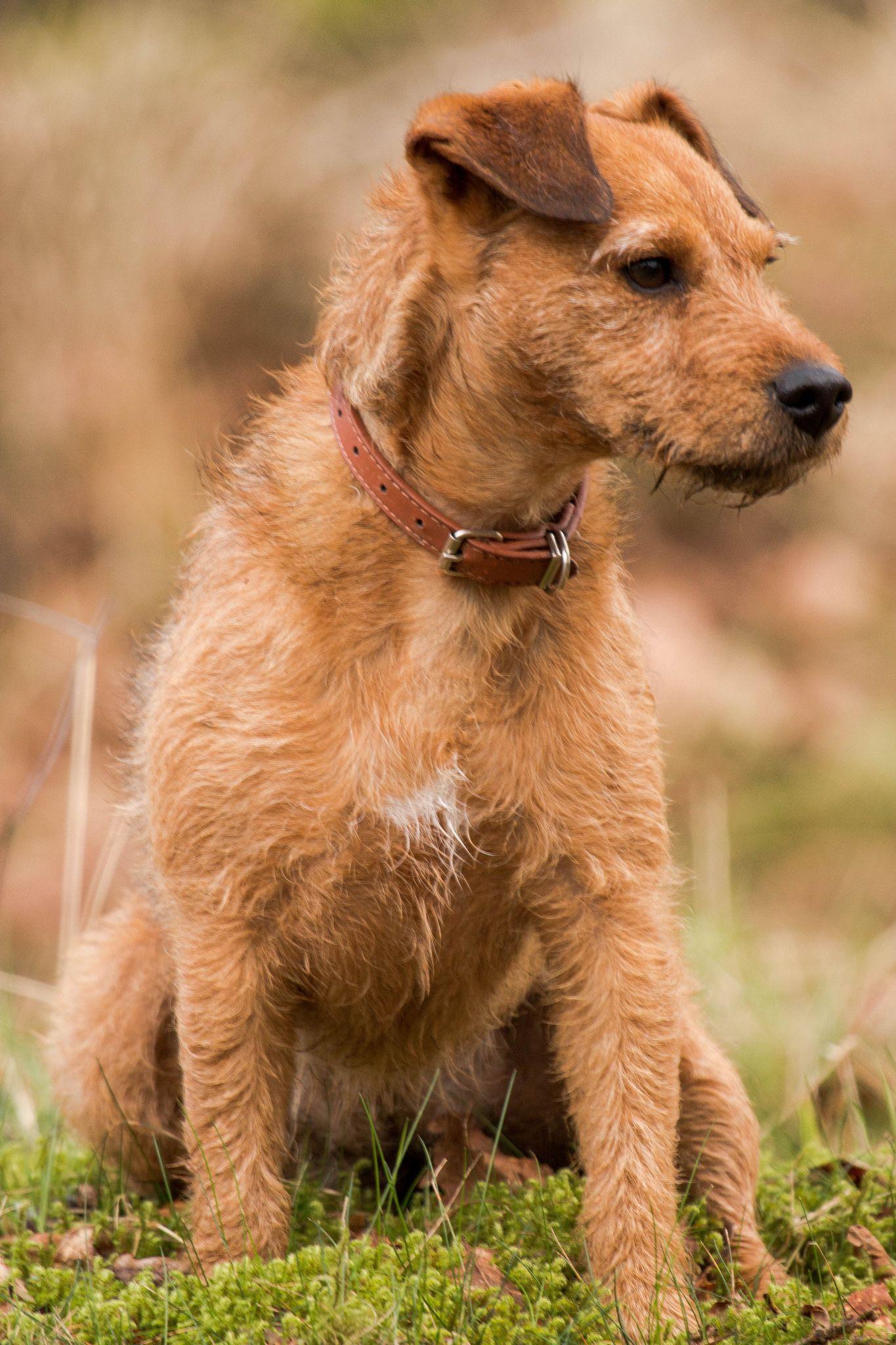 Jes Lakeland Terrier Lakeland Terrier Lakeland Terrier