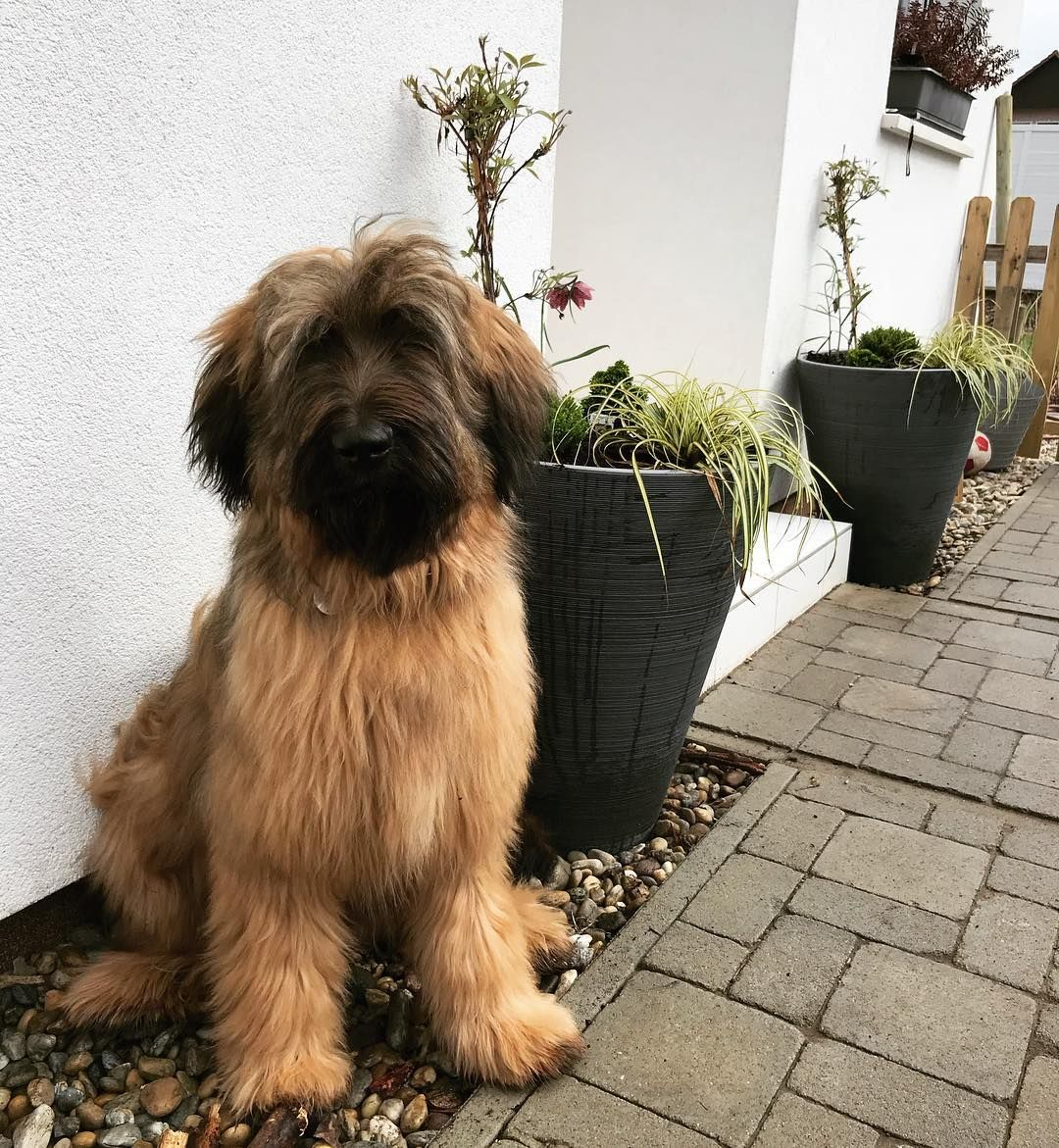 Chloe The Briard On Instagram We Did Gardening With Mom I Was Such A Good Girl That Mom Said We Would Take An Extra Long Walk In Animaux Boule De Poil