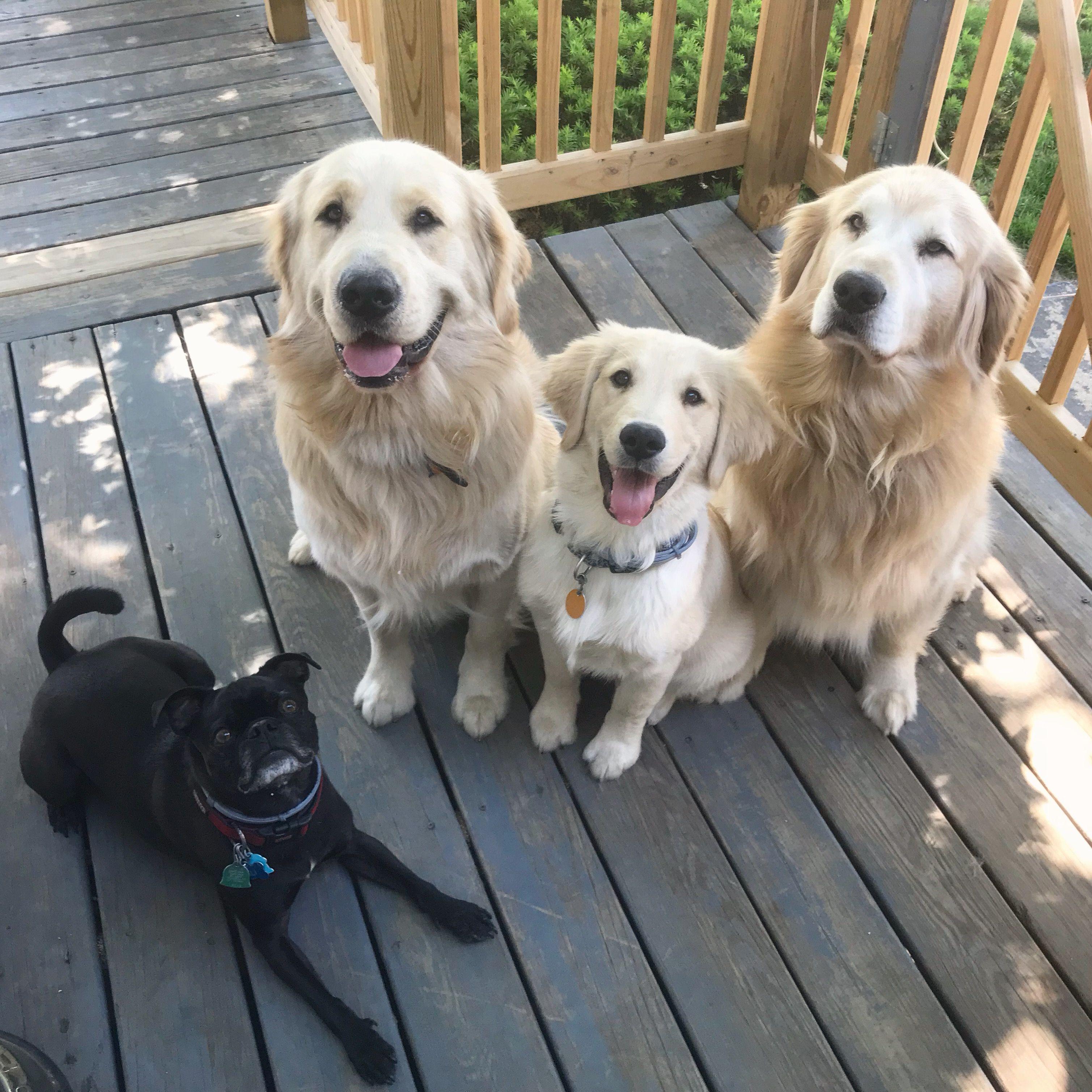 Father Puppa Tavish With Sons Joyful Jax And Jasperthefriendlygolden And Bestbud Ali On Instagram 犬 ペット