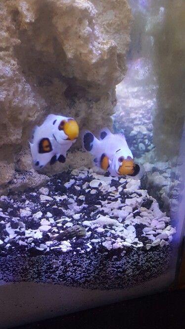 Wyoming White Clownfish Marine Fish Tanks Clown Fish Marine Fish