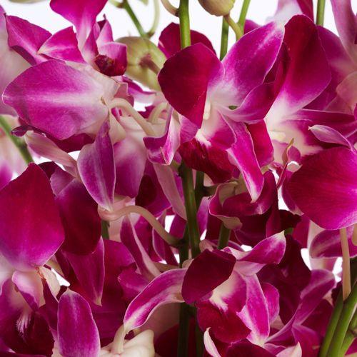 Orchids Purple Orchids Dendrobium Orchids Orchids
