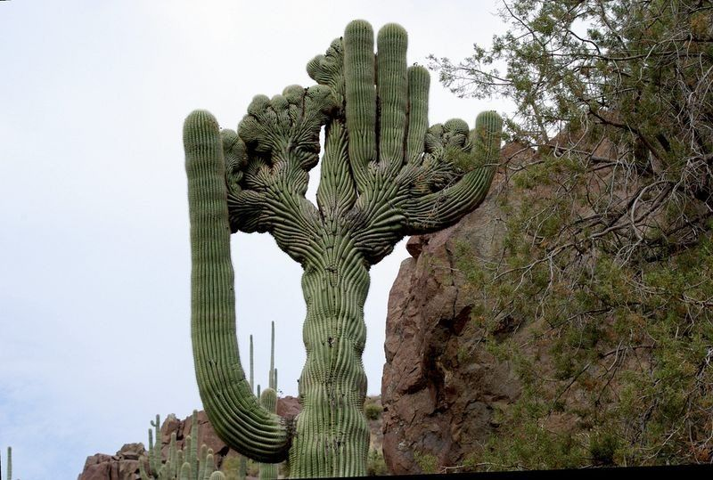 """Crested"" saguaro cactus -- very rare."