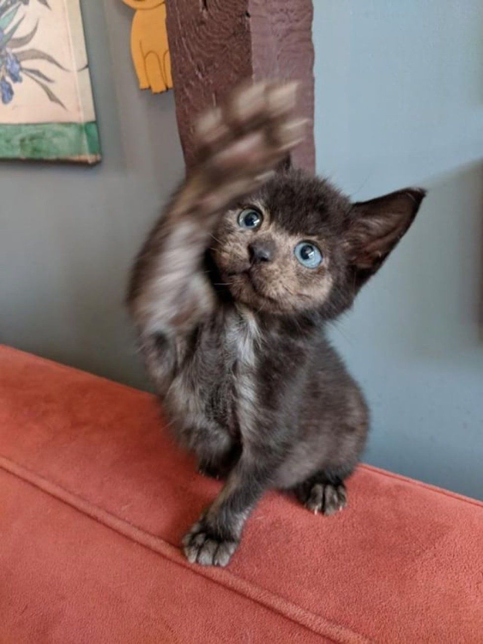 Orphaned Kitten Brought Back From The Brink Grows Her Lost Fur Back In Different Color Kitten Cute Animals Cats And Kittens