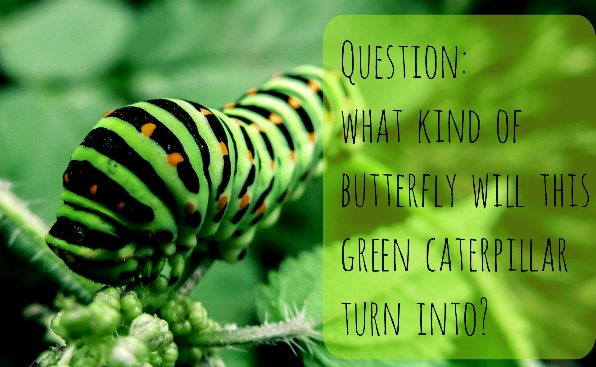 Identification Guide for 16 Common Green Caterpillars