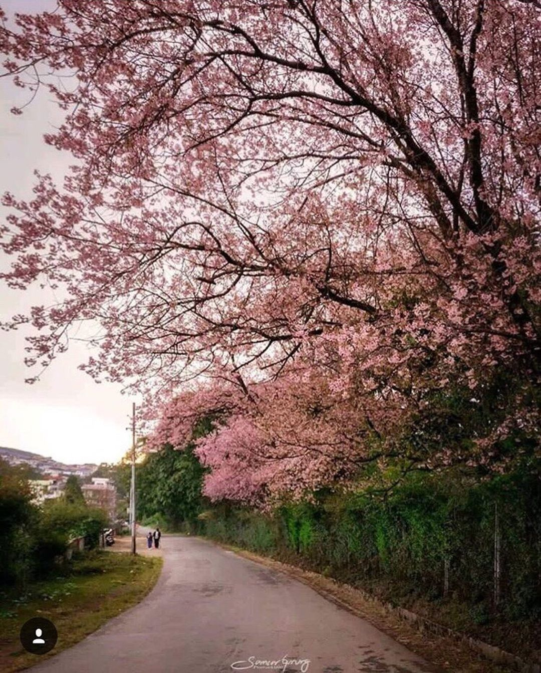 Momspresso On Instagram Photos Shillong Is Hosting Cherryblossomfestival This November And It Must Be On Your In 2021 Instagram Cherry Blossom Festival Shillong