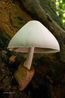 Volvariella bombycina / Volvaire soyeuse | Flickr - Photo Sharing!