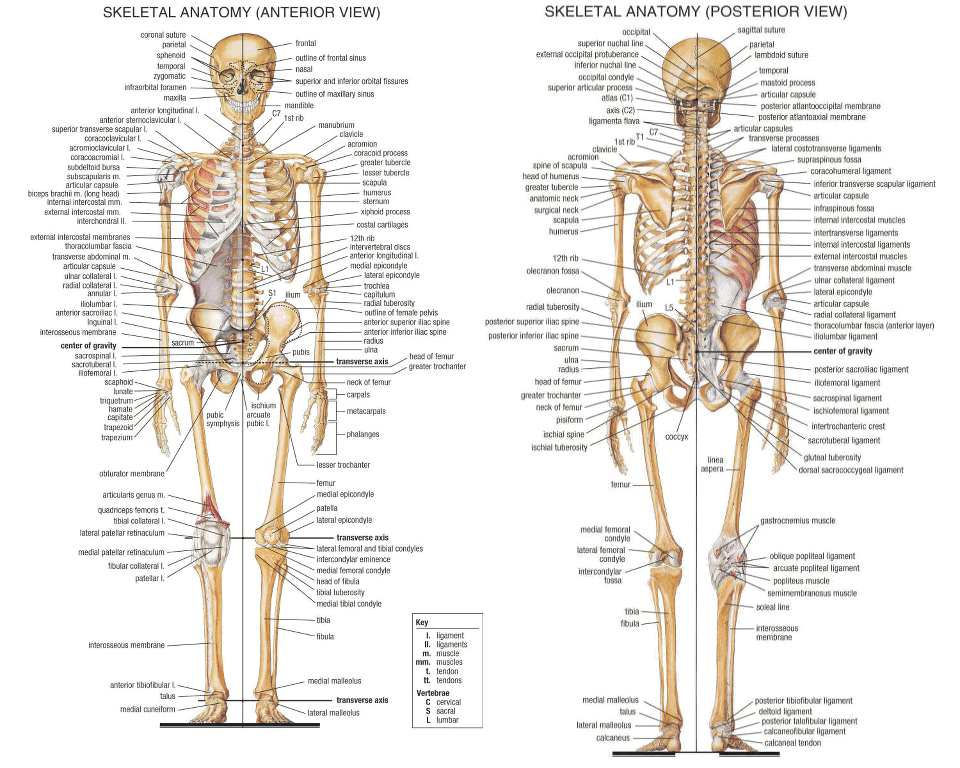 Bones in the adult human body