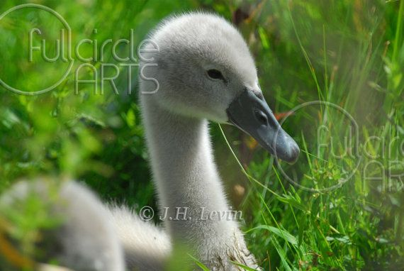 First lesson. #swans ,#birds #Swan | Animals beautiful