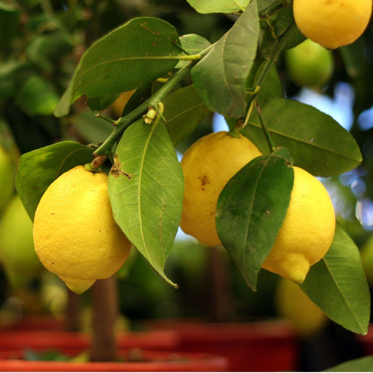 Oregon Grown In A Greenhouse Meyer Lemons Wayward Spark Meyer Lemon Tree Lemon Tree From Seed