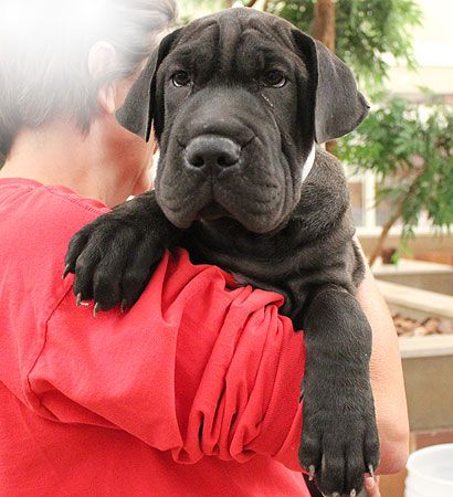 Animal League Adoption Profile For Chocolate Great Dane Shar