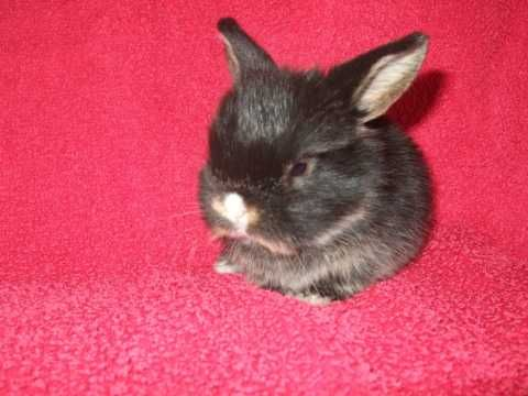 baby mini lops for sale Mini lop, Pet advice, Pet breeds