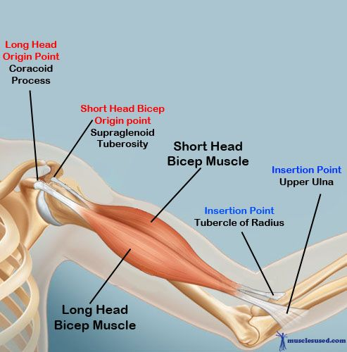 Bicep Muscles Origin And Insertion Points Arms Hands Forearms