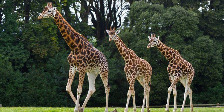 Gambar Binatang Jerapah Dari Koleksi Berbagai Jenis Gambar Binatang Binatang Hewan Jerapah