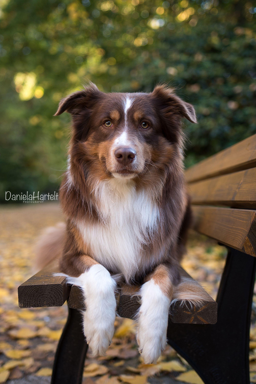 Aussie - Herbst -Autumn - Leaves - Dogs - Dog - Tierfotografie - Hundefotografie -Dogphotography #dogsphotography