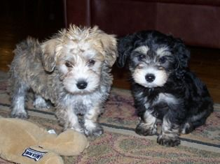 Schnoodle Puppies Soooo Cute And The Best Representation Of