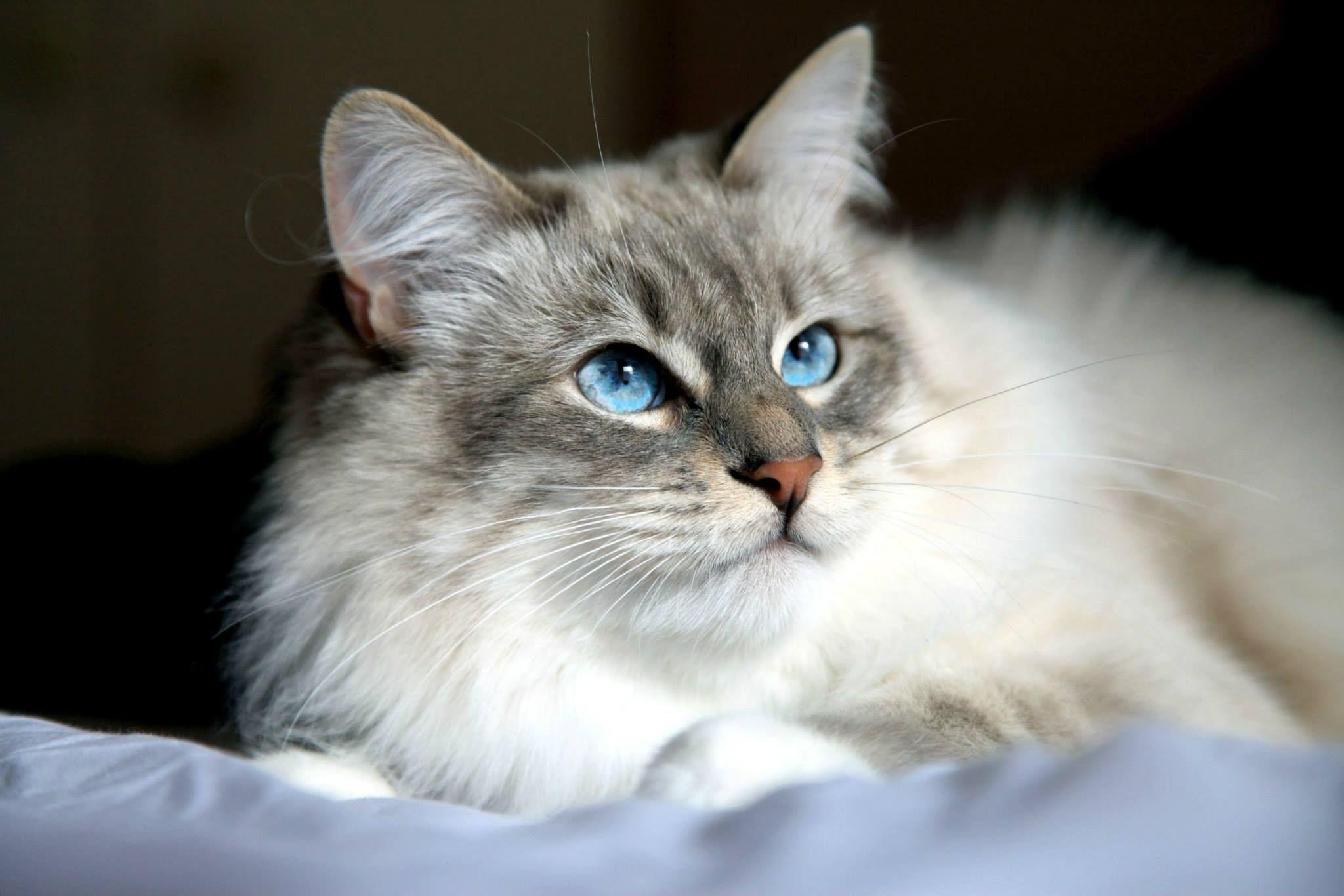 Dark Silver Tabby With White Siberian Kitten Siberian Cat Norwegian Forest Cat Siberian Kittens