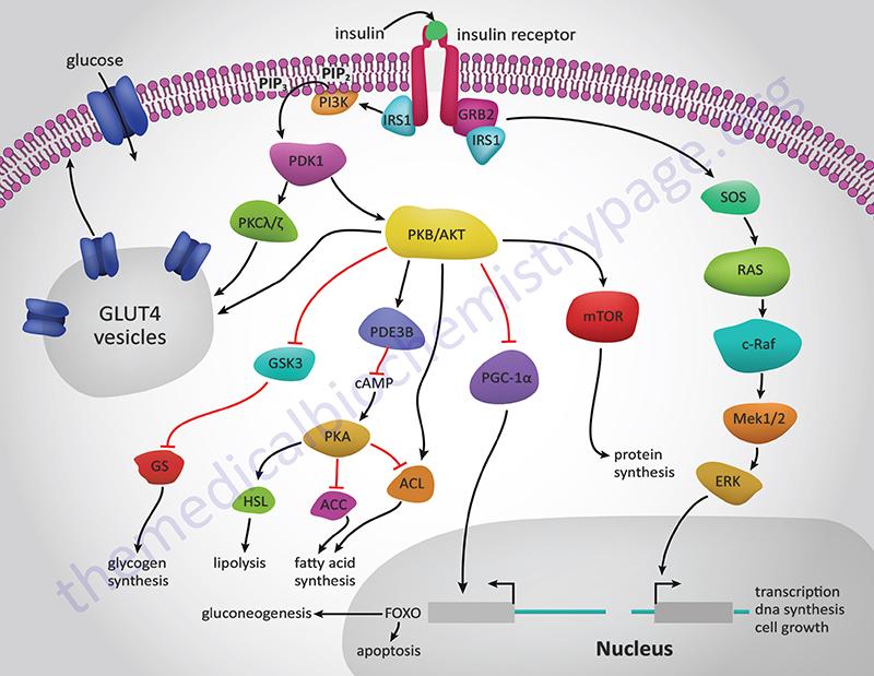 diabetes tipo 1 receptores de insulina y celular