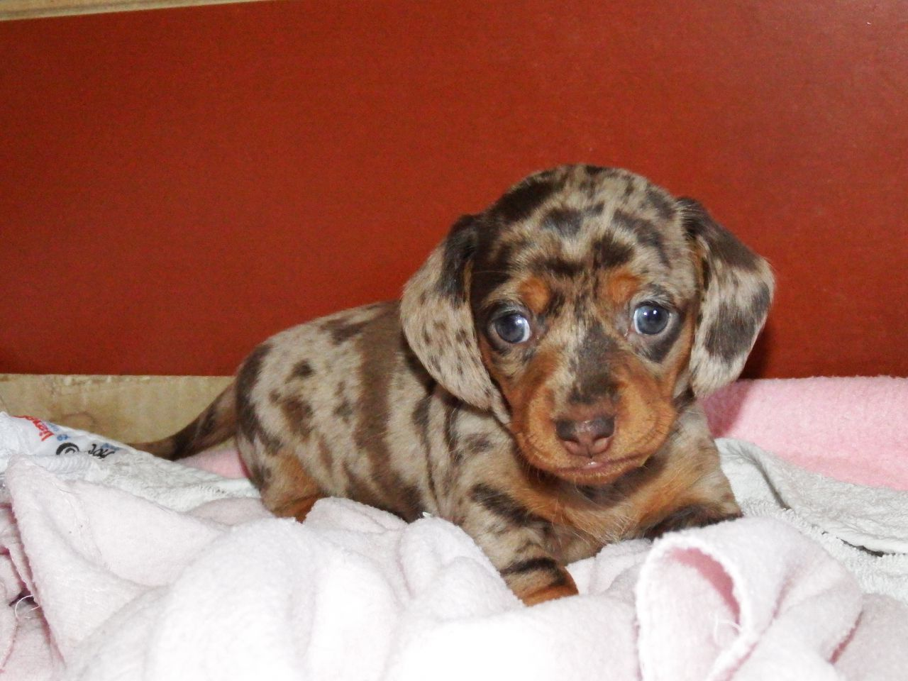 Chocolate Dapple Miniature Dachshund Puppies For Sale Dachshund Puppies For Sale Dachshund Puppies Dachshund Puppy Miniature
