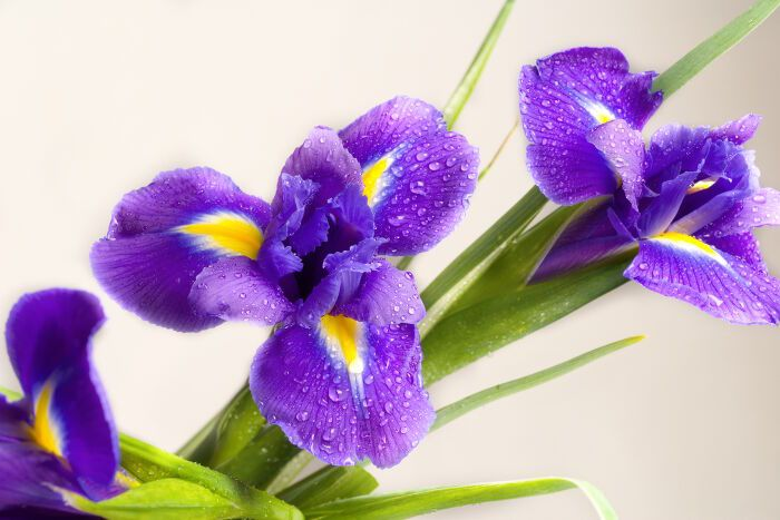 The Iris Flower Its Meanings And Symbolism Irisflowerarrangement Melbournefreshflowers Flowerdeliveryinmelbourn Flower Meanings Iris Flowers Flower Lover