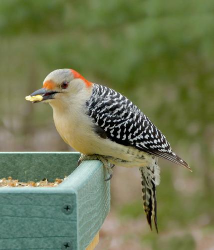 Female Red Bellied Woodpecker Feederwatch Woodpecker Wild Birds Unlimited What Is A Bird