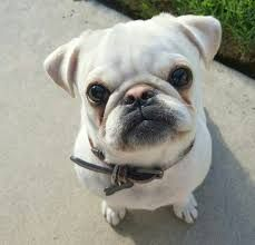 Image Result For French Bulldog Mix With Pekingese French