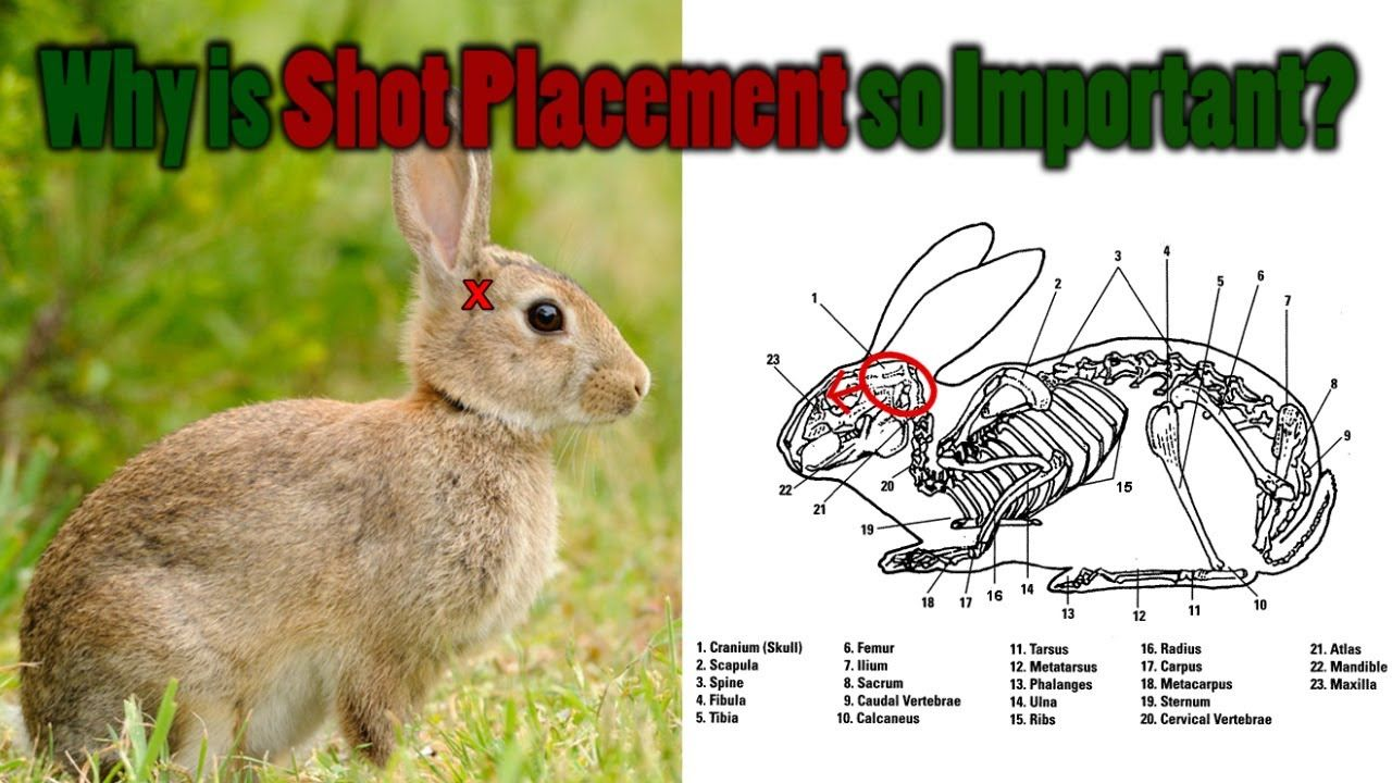 Shot Placement on Small Game - Air Rifle Hunting Tips & Tricks ...