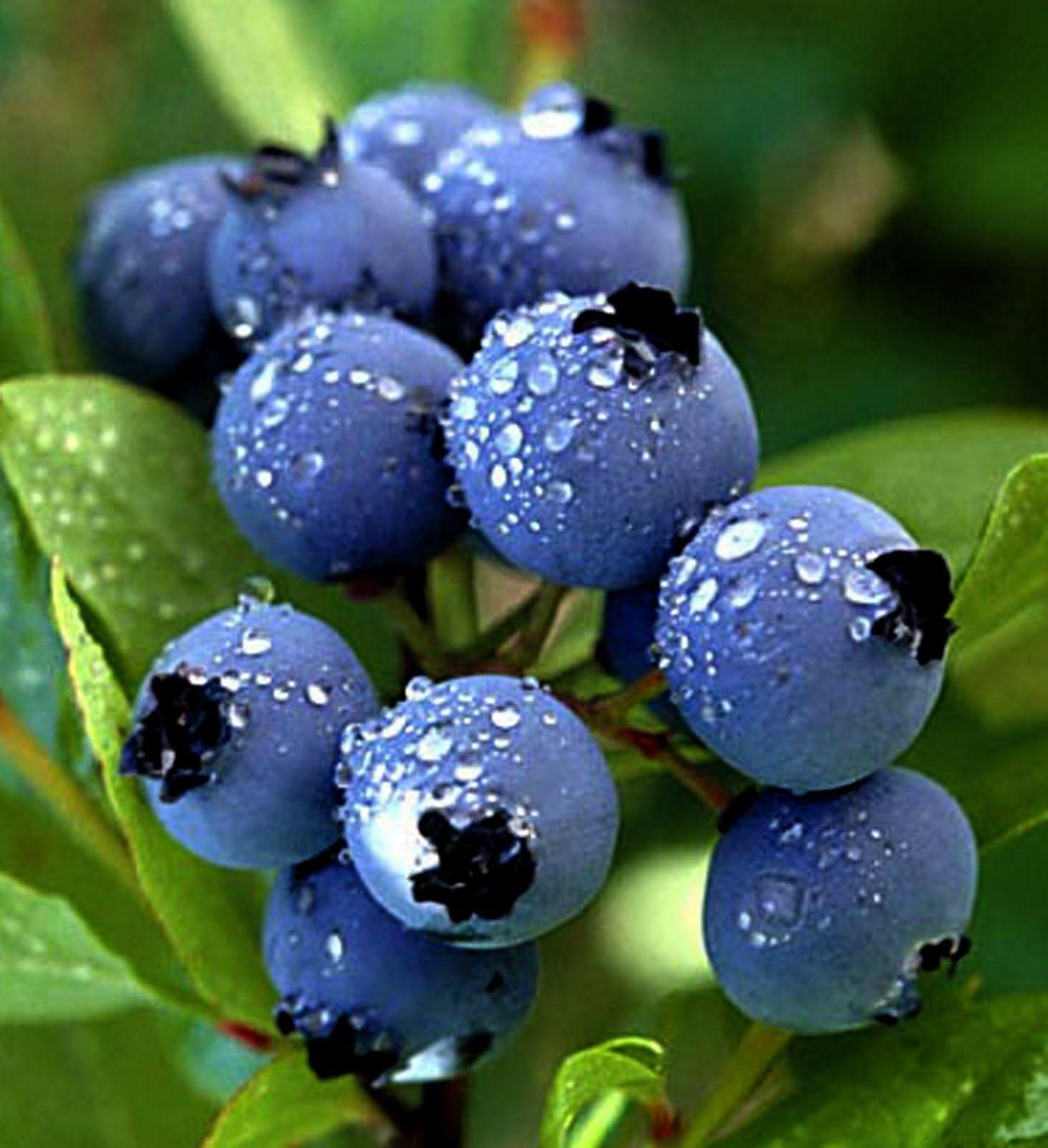 Blueberries Freshly Picked Blue Growing Blueberries