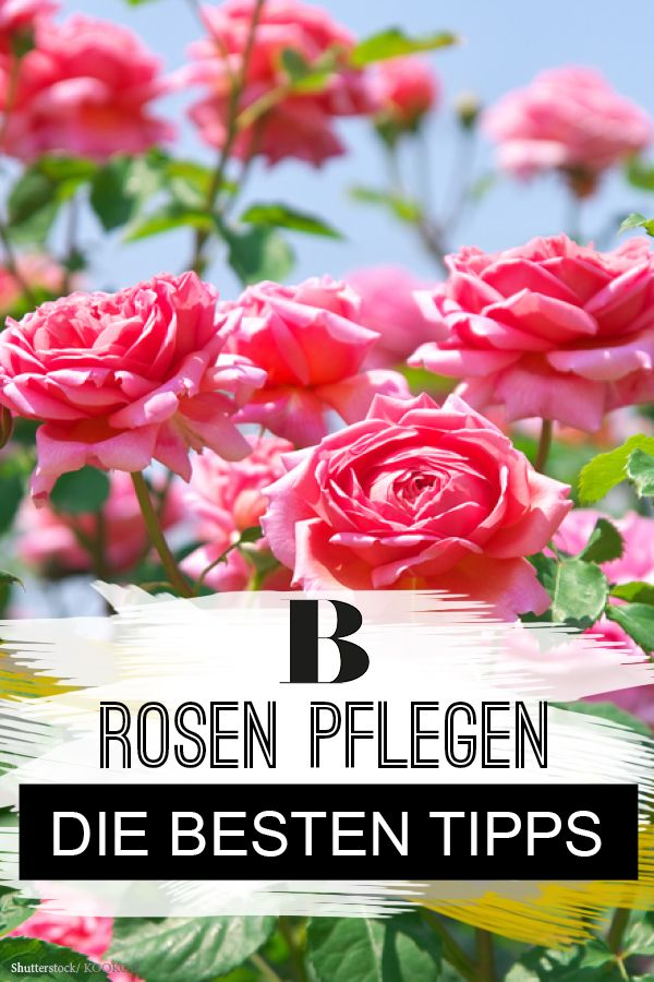 gartenschule rosen pflegen die besten tipps garten and gardens. Black Bedroom Furniture Sets. Home Design Ideas