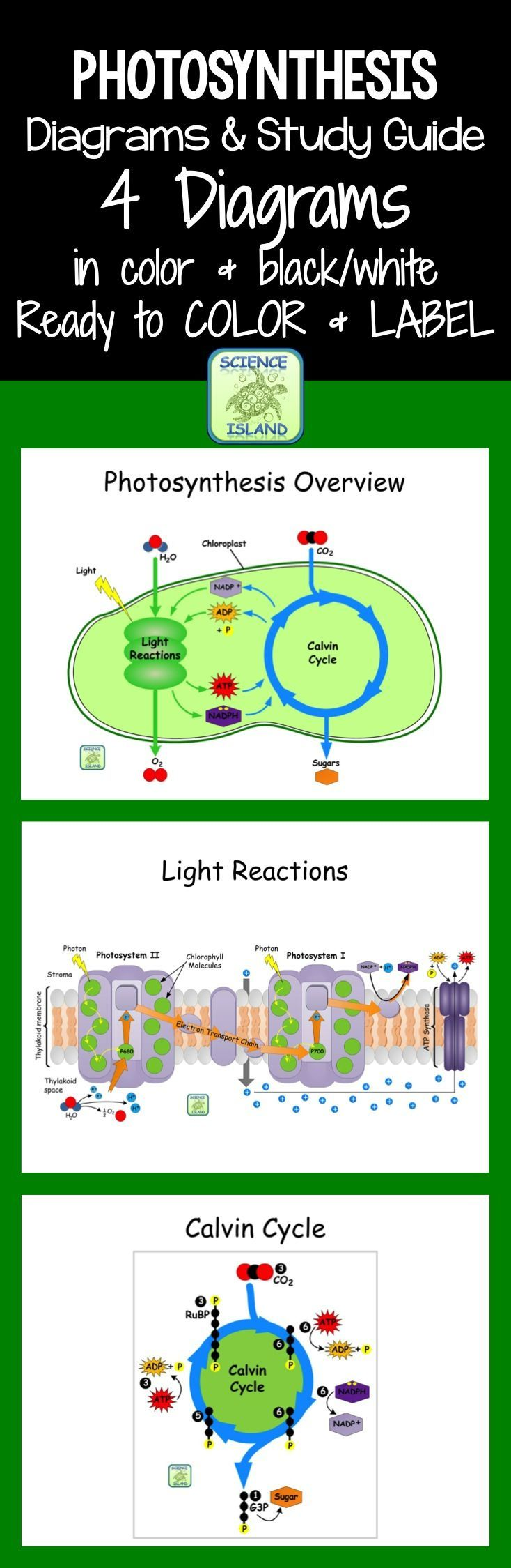 Photosynthesis diagrams and study guide photosynthesis diagram great photosynthesis diagrams for biology are ready to color andor label study guide pooptronica Image collections