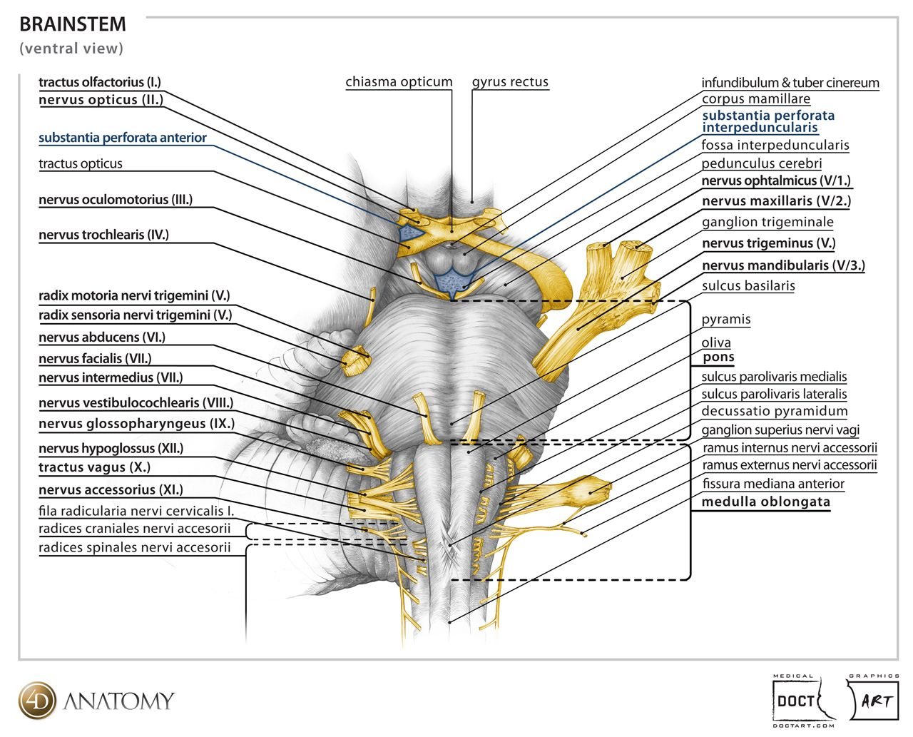 4D Anatomy cranial nerves anatomy | Biology | Pinterest | Cranial ...
