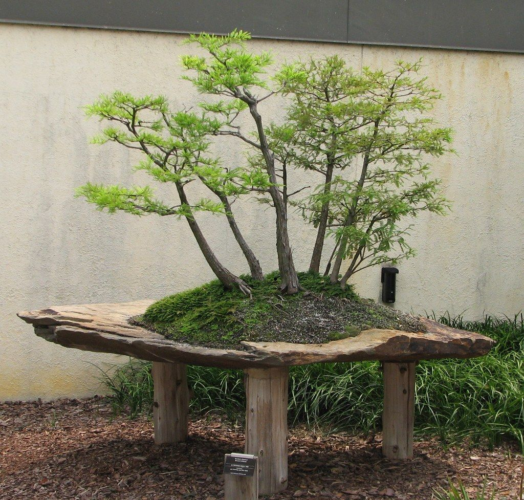 Bald cypress bonsai pinterest bonsai garten und for Bonsai pflanzen