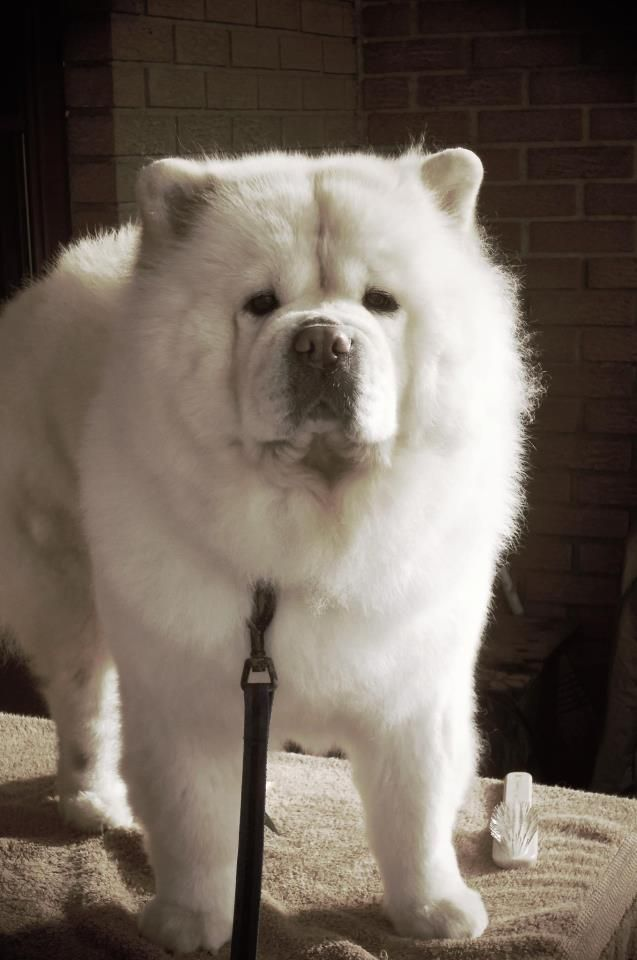 Chow Chow Dogs We Ve Had 2 Chows Wonderful Dogs So Loyal And